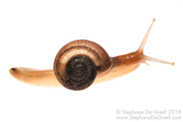 Common Cambodian ground snail (Mollusca Gastropoda)