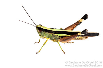 Grasshopper (Orthoptera Caelifera)