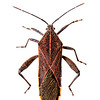 Leaf-footed bug (Physomerus grossipes, Coreidae)