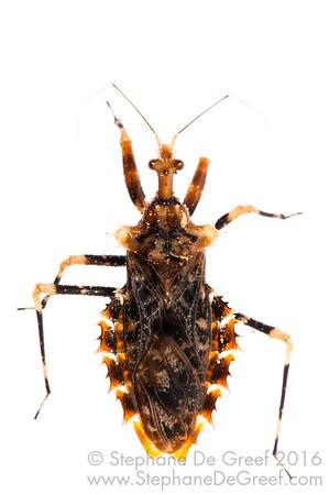 Assassin bug (Hemiptera Reduviidae)