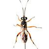 Ichneumon wasp (Ichneumonidae Cryptinae)