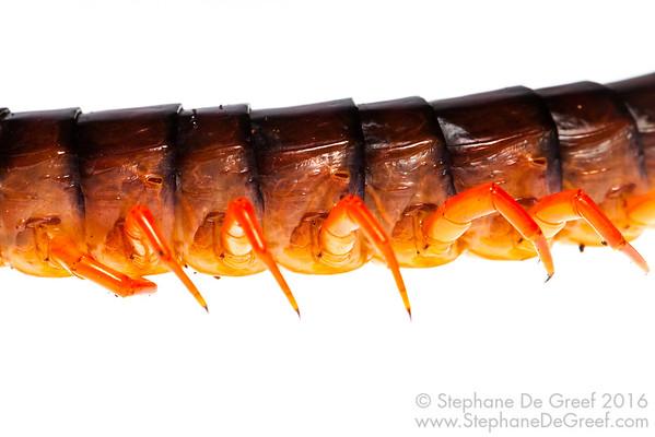 Giant Centipede (Myriapoda Chilopoda)