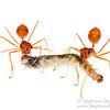 Weaver ants (Oecophylla smaragdina, Formicidae)