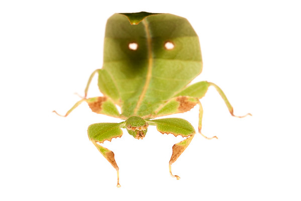 Leaf Insect (Phasmoptera Phylliidae)