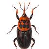 Palm Weevil (Rhynchophorus sp, Curculionidae)