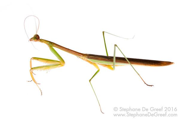 Praying Mantis (Tenodera sp, Mantidae)