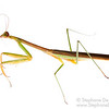 Praying Mantis (Tenodera sp, Mantidae)