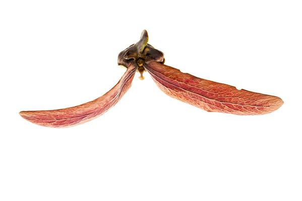 Fruit of Dipterocarpus alatus
