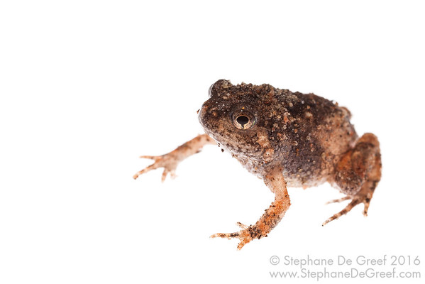 Ornate Narrowmouth Frog (Microhyla fissipes, Microhylidae)