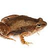 Heymon's Narrow Mouthed Frog  (Microhyla heymonsi, Microhylidae)
