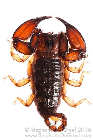Cambodian scorpion (Arachnida Scorpiones)