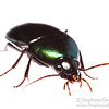 Green Ground Beetle (Coleoptera Carabidae)