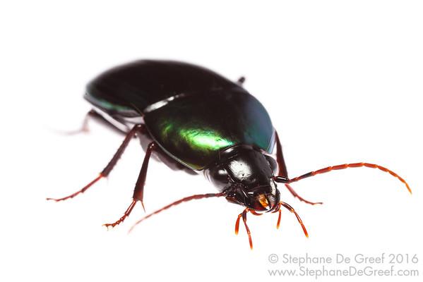 Green Ground Beetle (Coleoptera Carabidae)