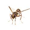 Fruit fly - Dacus (Callantra) sp.