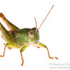 Cambodian green grasshopper (Orthoptera Caelifera)