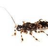 Cambodian Assassin bug (Hemiptera Reduviidae)