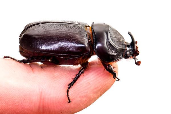 Rhinoceros beetle (Oryctes rhinoceros)