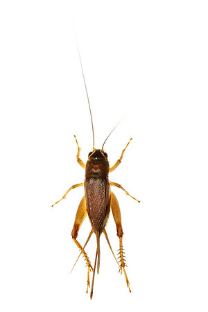 Cambodian cricket (Orthoptera Grillydae) - Female