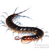 Blue-legged centipede (Myriapoda Chilopoda)