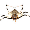 Herennia spider (Herennia sp, Nephilidae)