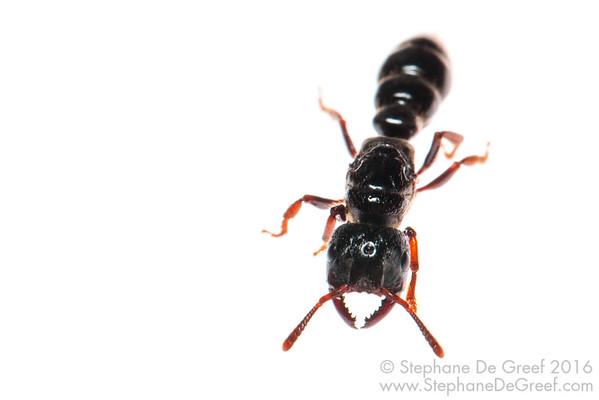Myopopone Ant (Myopopone sp, Formicidae)