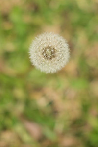 Day 231: Dandelion seeds
