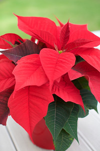 Day 351: Poinsettia ready for Christmas
