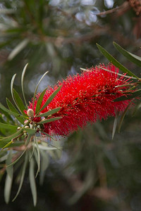 Day 197: Bottlebrush in bloom