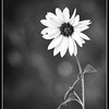 Autumn Sunflower in B&W