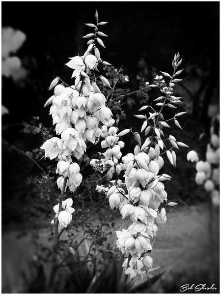 Texas Yucca in Bloom