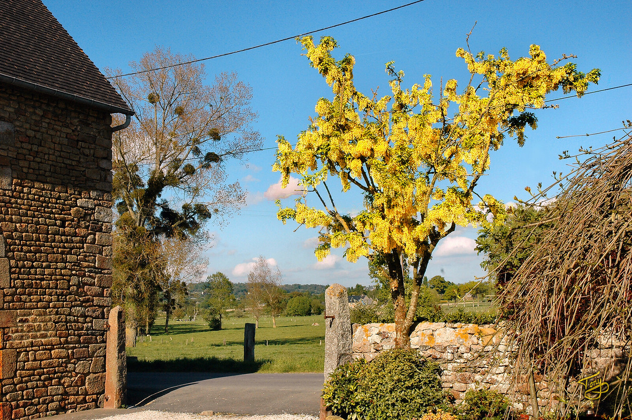 Le-Val-Saint-Père - 2009 - La Maraîcherie, our Chambres-d'Hôtes -  Golden Chain Tree - I had a hard time trying to convey photographically the radiant gold of this tree.  This picture only hints at it.