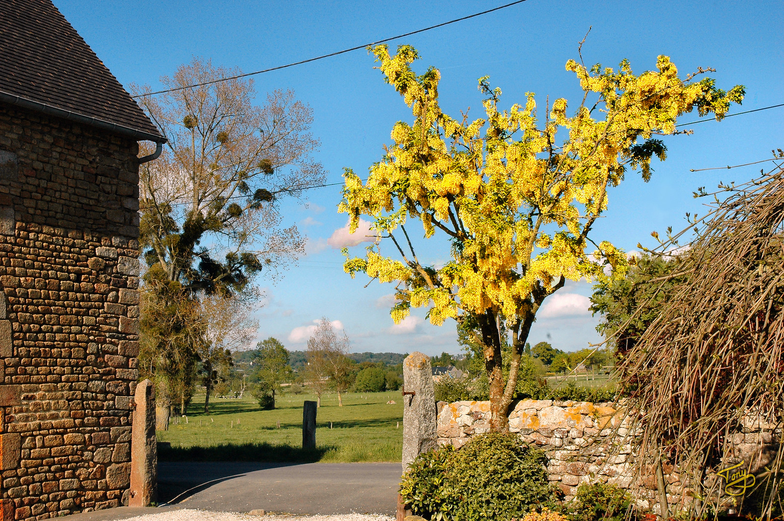 """Le-Val-Saint-Père - 2009 - La Maraîcherie, our Chambres-d'Hôtes -  Golden Chain Tree - I had a hard time trying to convey photographically the radiant gold of this tree.  This picture only hints at it. <a title=""""godaddy counter"""" href=""""http://statcounter.com/godaddy_website_tonight/"""" target=""""_blank""""><img style=""""display:none;"""" src=""""http://c.statcounter.com/2514080/0/73d54fdc/0/"""" alt=""""godaddy counter""""></a>"""