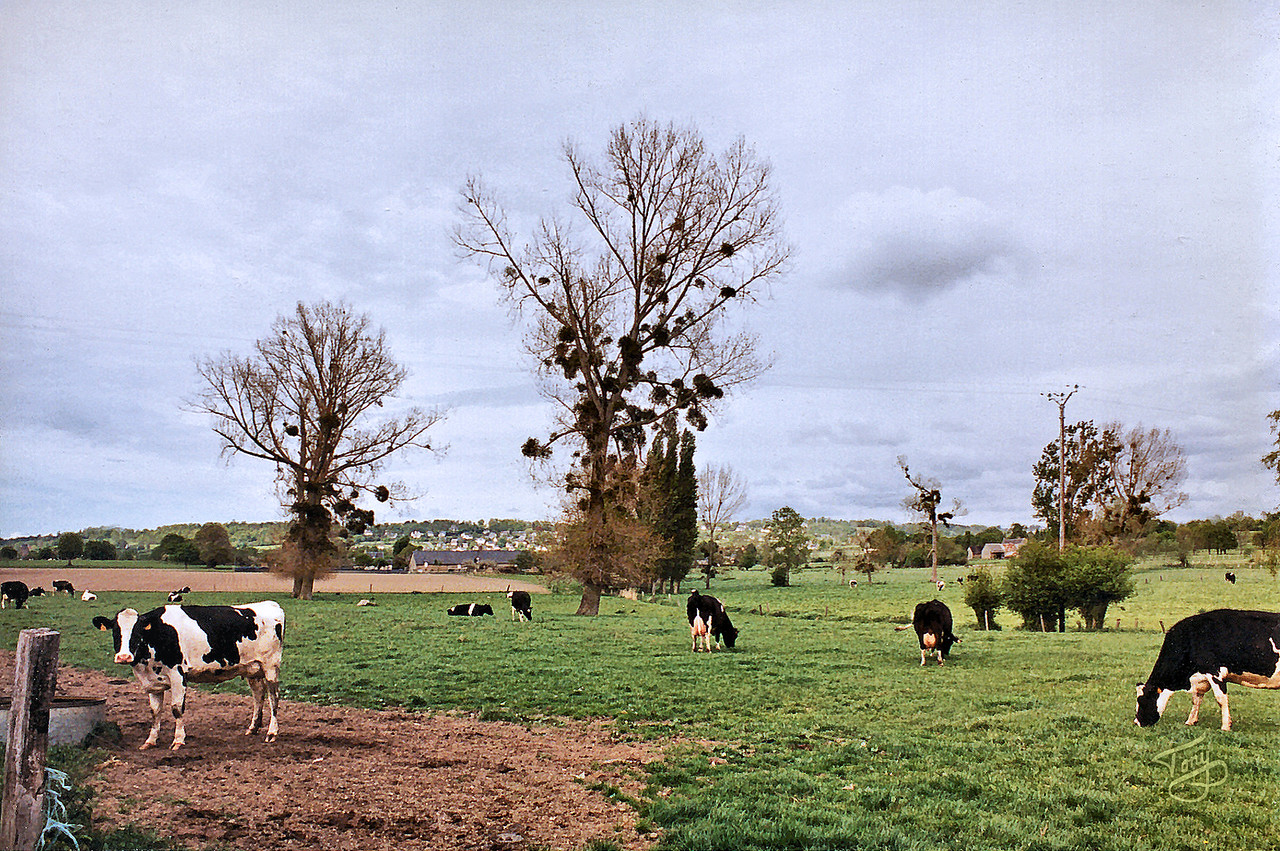 Le Val-Saint-Père 2002 - Cows and Mistletoe