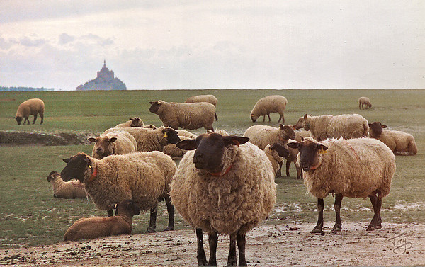 Le Val-Saint-Père 2002 - Sheep in Abundance