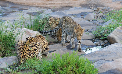 Leopards, male female and cub