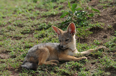 Black-backed jackal pup