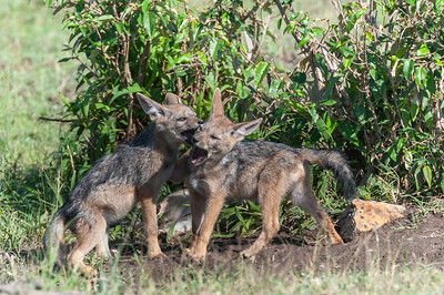Black-backed jackal pups