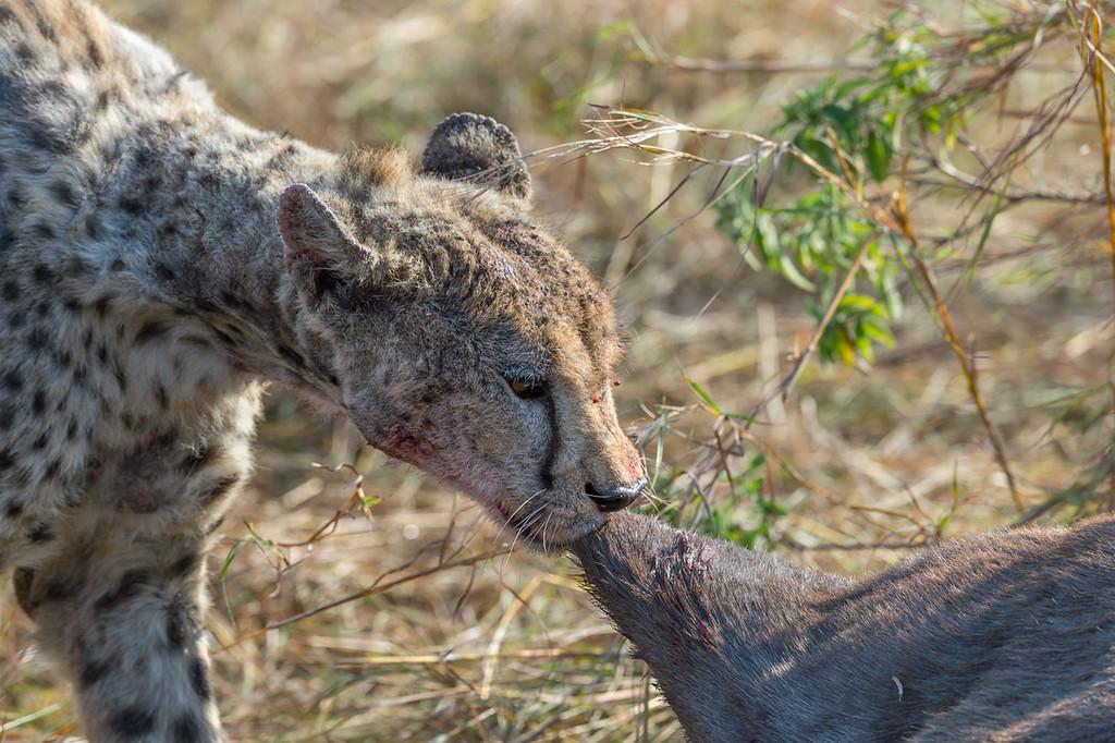 Cheetah and wildebeest carcass