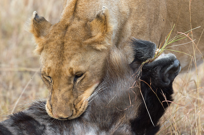 Lioness and wildebeest