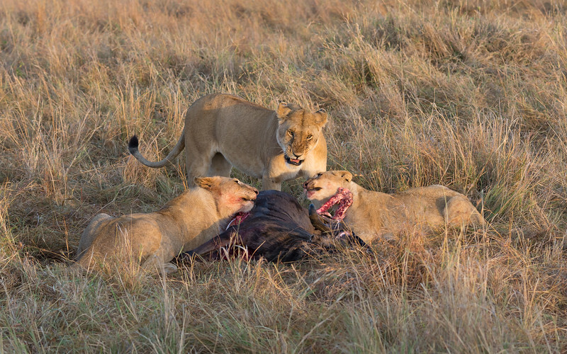 Lions and wildebeest carcass
