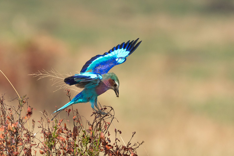 Lilac-breasted roller with locust