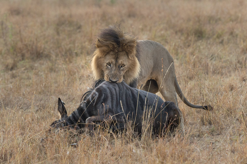 Lion dragging wildebeest