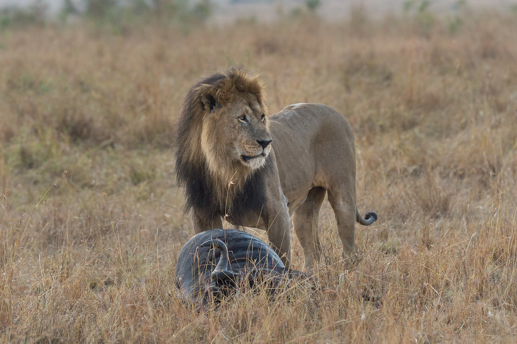 Lion and wildebeest carcass