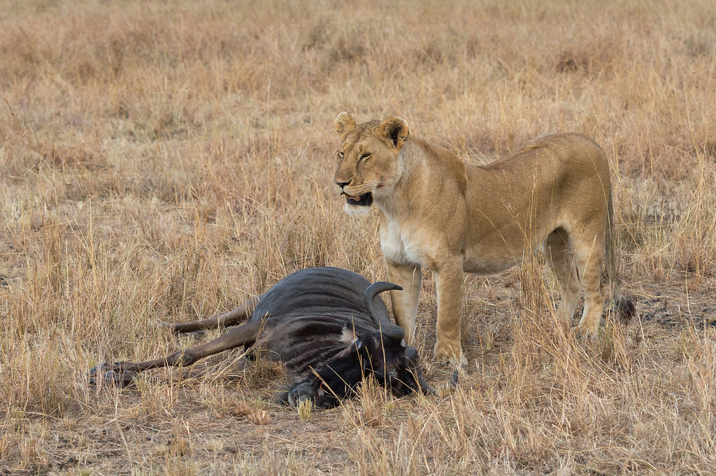 Lioness and wildebeest