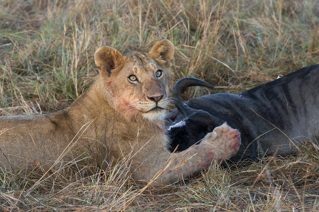 Lioness and wildebeest carcass