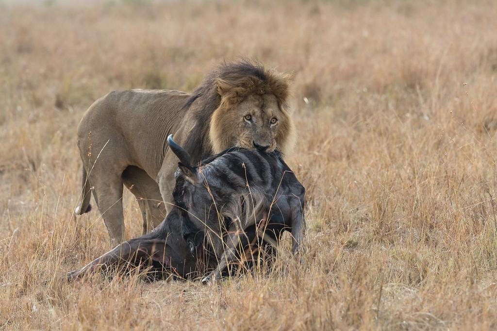 Lion dragging wildebeest