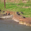 outside Gatun Locks 2 Crocs resting