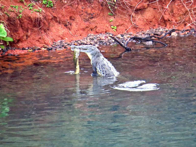 a local Croc getting a meal