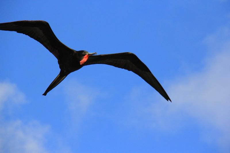 Frigate bird above Roadtown Tortola bay