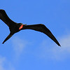 Frigate bird above Roadtown Tortola bay